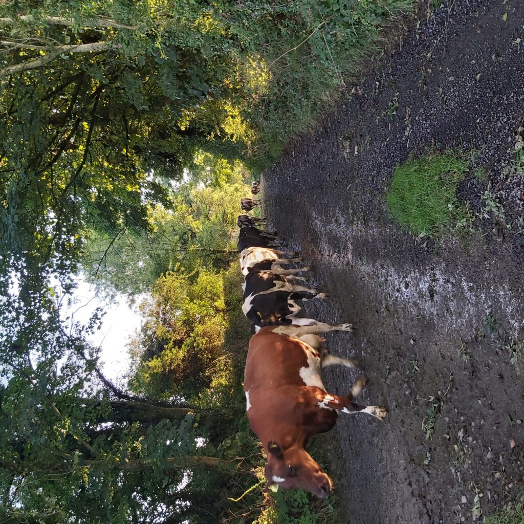 Cows on Garrendenny Lane